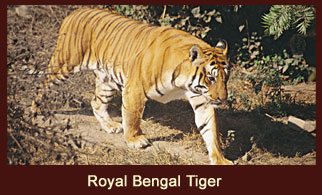Royal Bengal Tiger, one of the major attractions of the Chitwan National Park, Nepal.