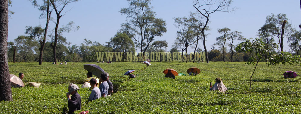 The Indian states of Sikkim and Darjeeling are characterized by massive tea plantations everywhere.